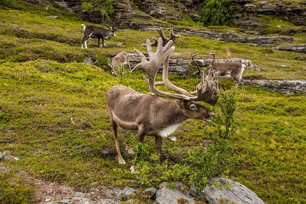 tour-scandinavia-fai-da-te-renne-capo-nord