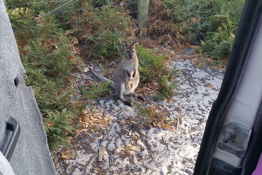 Tasmania-in-3-giorni-canguri