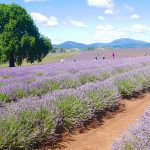 Tasmania-in-3-giorni-Bridestowe-campi-lavanda