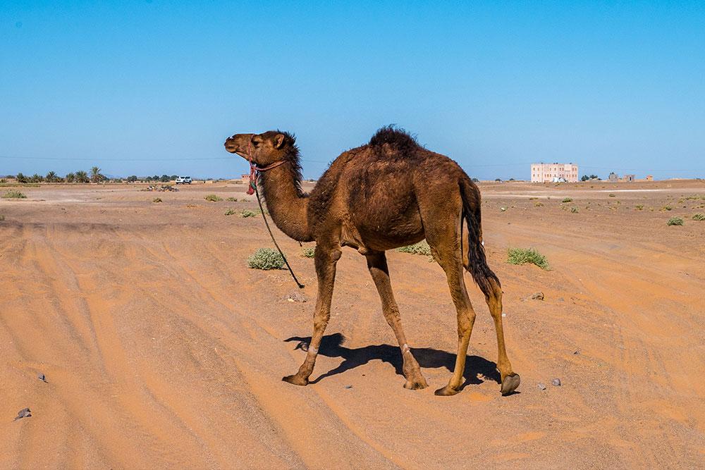 deserto-del-Marocco-dromedario-cammello